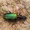 ground beetle