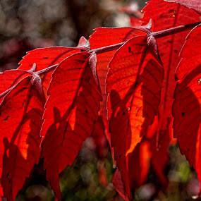 by Todd Yoder - Nature Up Close Leaves & Grasses ( macro, red, shrub, morning, leaves )