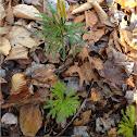 Princess Pine (Club Moss)