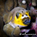 Dog-faced Puffer, Black-spotted Puffer