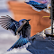blue bird fly.jpg