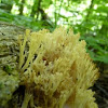 Crown-tipped Coral Fungus
