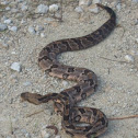 Canebrake or Timber rattlesnake