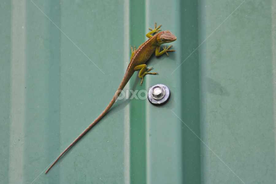 Lizard in Hawaii by Venetia Featherstone-Witty - Animals Reptiles ( wild animal, lizard, reptile, animal,  )