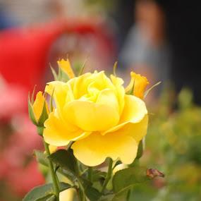 yellow rose by Sony Witjaksono - Flowers Flower Gardens