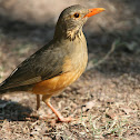 Kurichane Thrush