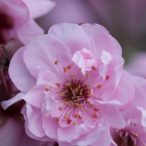 Cheery Cherry Blossom by Judy Wright Lott - Flowers Tree Blossoms ( washington, macro, bellingham, nature, flowers, cherry blossoms )
