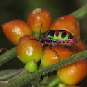 Shield bug/ Jewel bug