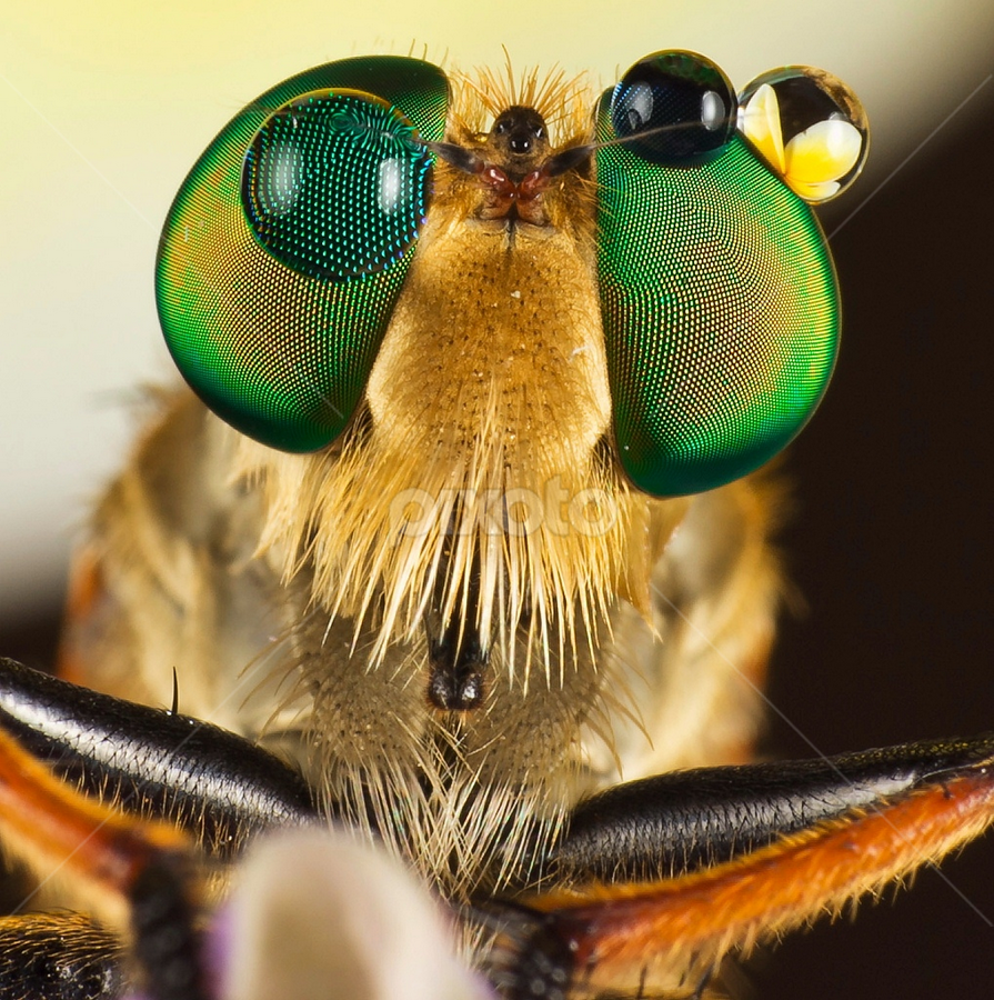 Mr Robber.... by Vincent Sinaga - Animals Insects & Spiders