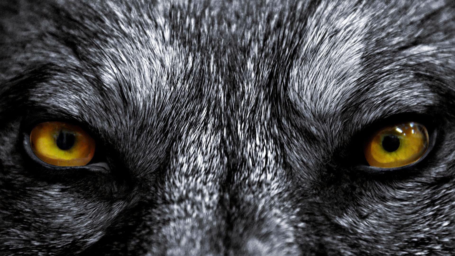 Wolf Eyes Live Wallpaper