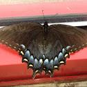 Eastern Tiger Swallowtail, female, dark form