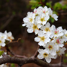 Blossoms by Christie Henderson - Flowers Flowers in the Wild ( flowers, blossoms,  )