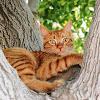 Domestic Cat (American Shorthair)