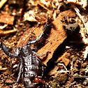Dwarf Wood Scorpion