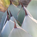 Parry's agave or mescal agave