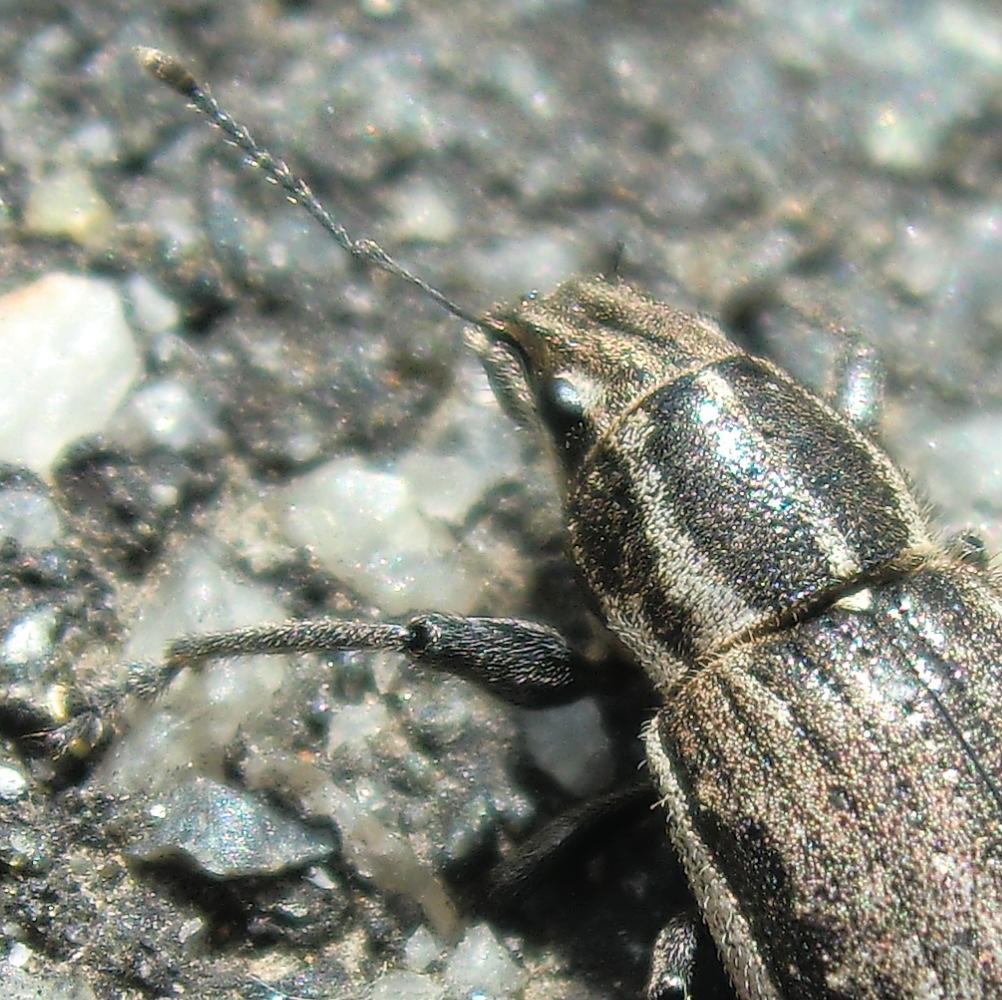 White-fringed weevil