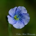 Flax (flower)