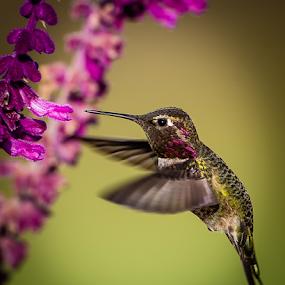 by Ken Wade - Animals Birds ( bird, calypte anna, hummingbird, salvia, anna's hummingbird, birds in flight )