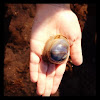 Northern moon snail