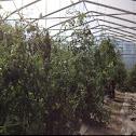 Green zebra heirloom tomatoes