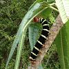 Pseudosphinx Tetrio caterpillar
