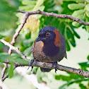 Rufous-necked Laughingthrush