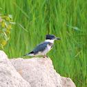 Belted Kingfisher (juvenile)
