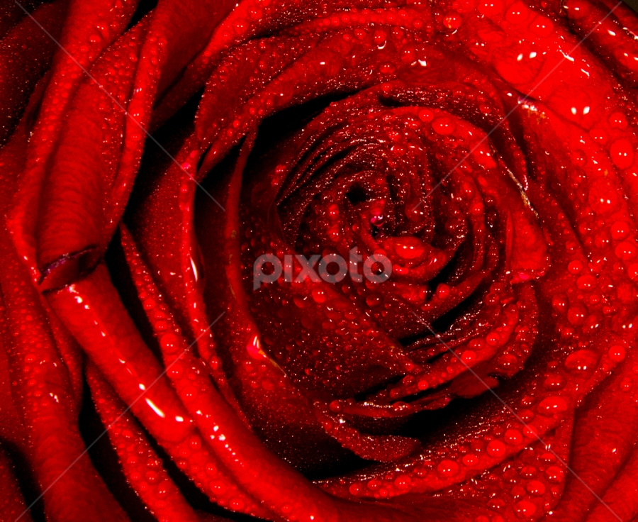 red by Elchin Jabbarov - Flowers Single Flower ( rose, macro, red, nature, flower,  )