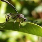 Gasteruptiid Wasp - female