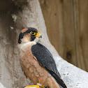 Taita Falcon