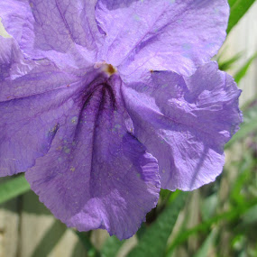 Mexican Petunia by Tanya Washburn - Flowers Single Flower ( nature, mexican, petunia, violet, flower )