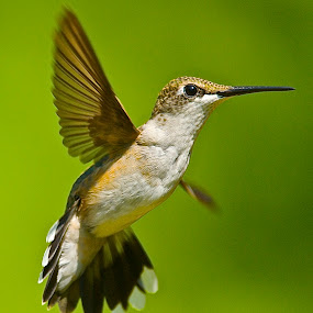 Fan Tail by Roy Walter - Animals Birds ( humminfbird, flight, wings, feathers, birds, animal,  )