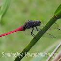 Pink skimmer