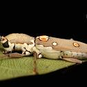 Long Horn Borer Beetle