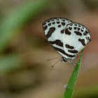 Banded Blue Pierrot