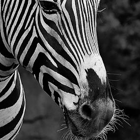 by Patrick Sherlock - Black & White Animals