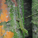 Emerald Anole