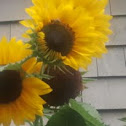 sunflower/bee