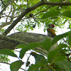Common Flameback/Goldenback (male and female)