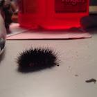 Painted Arachnis Caterpillar???