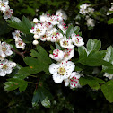 Hawthorn ; May