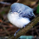Blue Gray Gnatcatcher (Fledglings)