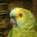 Blue-fronted Parrot (Papagaio - Brasil)