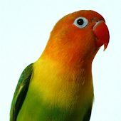 Amazing Talking Lovebird