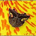 Ricaniid Planthopper, Black Planthopper