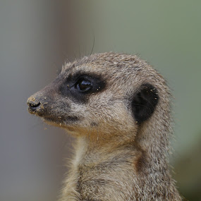 Meerkat look out by Sharon Bennett - Animals Other Mammals ( nature, meekat, creature, furry, wildlife, animal,  )