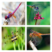 Dragon Fly Live Wallpaper