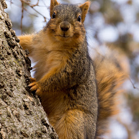 Posing Squirrel by Kyle Kephart - Animals Other Mammals ( looking, climbing, pose, tree, furry, little, cute, squirrel, close )