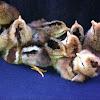 Hatch chickens