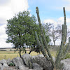 Saguaru Cactus
